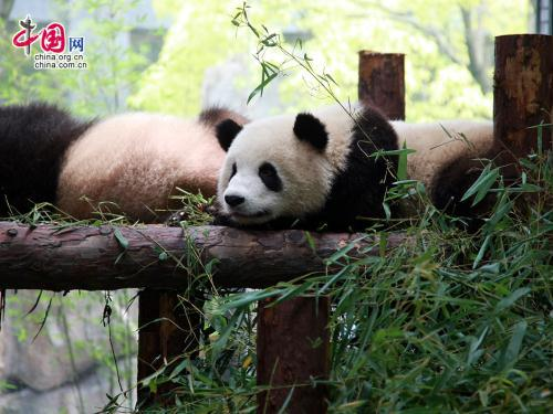 A birthday party has been held at the Shanghai World Expo for some special two years old. Not just any two years old. But, pandas, including a pair of twins.