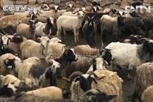Tibetan herdsmen adjust to new way of life