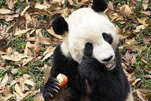 Panda Tai Shan to be sent to China for breeding