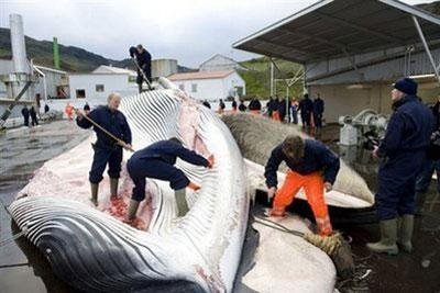 Whalerscutopena35-tonneFinwhaleinJune2009,oneoftwofinwhalescaughtaboardaHvalurboatoffthecoastofHvalfjsrour,northofReykjavik,onthewesterncoastofIceland.(AFP/File/HalldorKolbeins)
