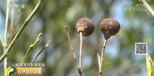 江西南丰:强降雨致蜜桔受灾 预计损失4亿元