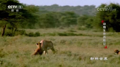 [动物世界]生死大战上演!大反转 猎豹妈妈深受重伤