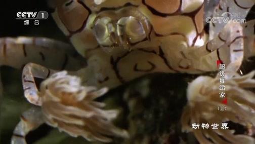 [动物世界]免费大餐 花纹细螯蟹跳舞就能获得