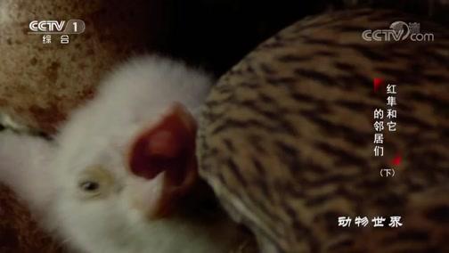 [动物世界]孑然一身!红隼妈妈失去伴侣独自抚养雏鸟