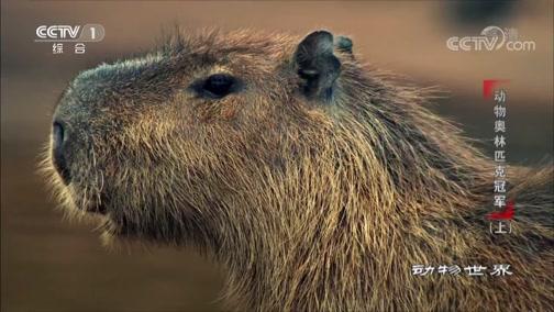 [动物世界]世界上最大的啮齿动物——巴拿马水豚