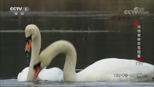[动物世界]这对热恋中的天鹅 在水中一起优雅舞蹈亲昵相拥 真是羡煞旁人