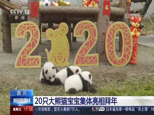 [新闻直播间]四川 20只大熊猫宝宝集体亮相拜年