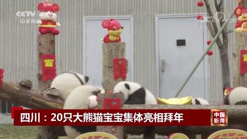[中国新闻]四川:20只大熊猫宝宝集体亮相拜年