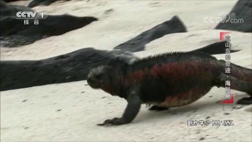 [动物世界]西班牙群岛上的海鬣蜥有一米多长 在地球的其他地方几乎找不到海鬣蜥
