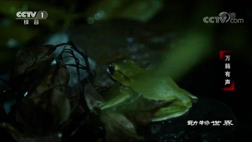 [动物世界]绿雨滨蛙能否等到属于自己的另一半