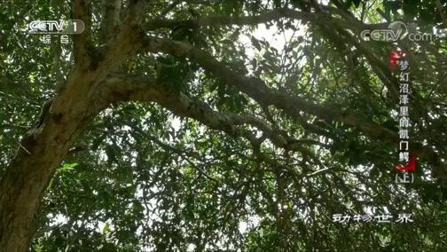 [动物世界]凯门鳄悄悄潜伏 纵身跃向枝头的鹦鹉 哎呀!失手啦