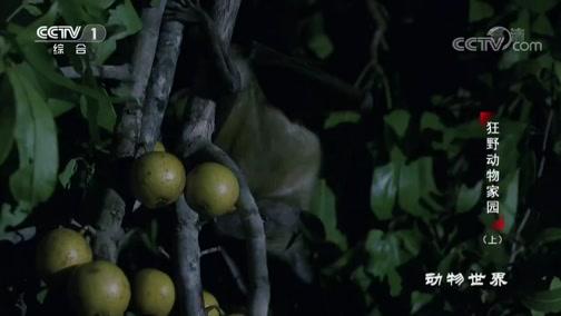 [动物世界]上千万只果蝠的狂欢聚会 十个星期后树林被收拾干净