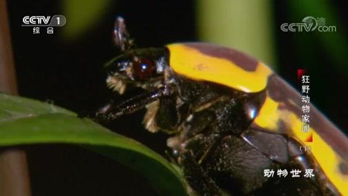 [动物世界]螳螂捕食 变色龙在后 大意送小命