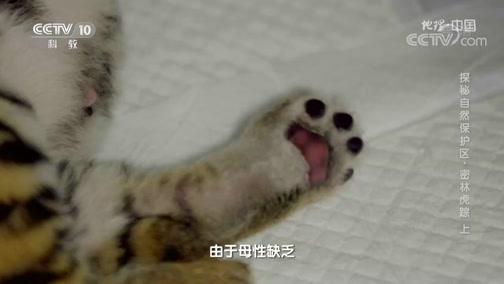 [地理·中国]东北虎一般每年只产一胎