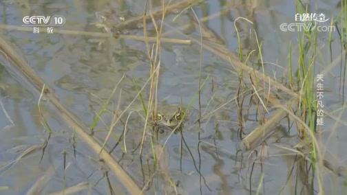《自然传奇》 20200512 天生不凡的蛙