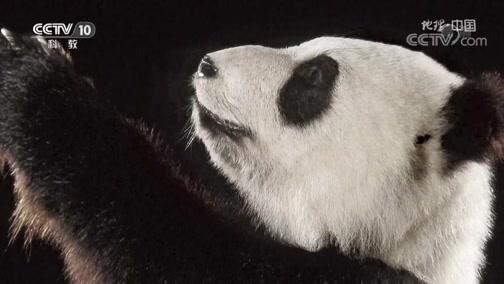 [地理·中国]法国生物学家阿尔芒·戴维在四川考察第一次发现熊猫