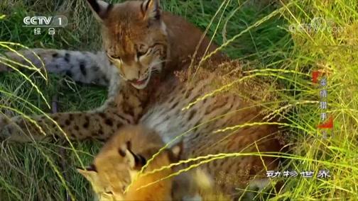 [动物世界]小欧林猫长得很快 一家人感情非常好
