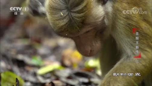[动物世界]家族里要讲规矩 雄猴之间也讲友谊