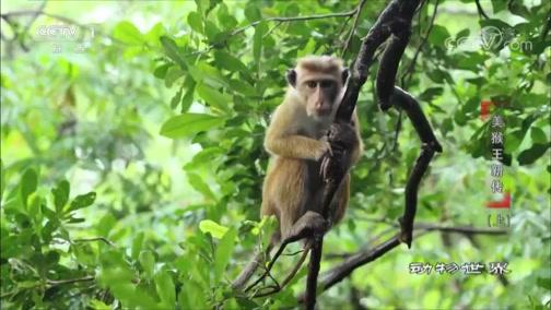 [动物世界]摘果抓虫搞卫生 猕猴大军过得忙碌又充实