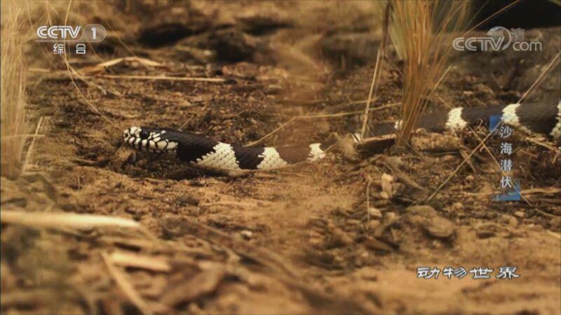 [动物世界]响尾蛇与王蛇之间的生死较量