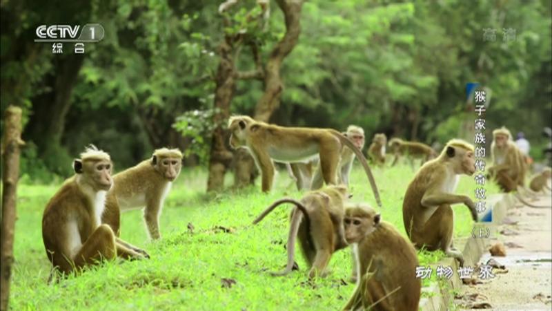 《动物世界》 20210410 猴子家族的传奇故事(上)