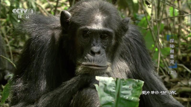 《动物世界》 20210512 探秘刚果河(上)