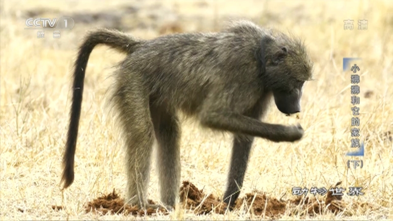 《动物世界》 20210613 小狒狒和它的家族(下)