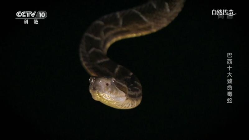 《自然传奇》 20210615 巴西十大致命毒蛇