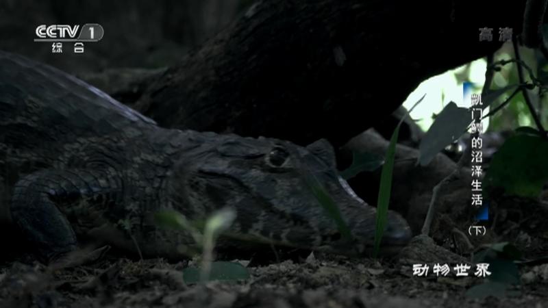 《动物世界》 20210627 凯门鳄的沼泽生活(下)