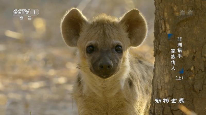 《动物世界》 20210724 非洲猎手·家族传人(上)