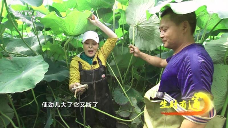 《生财有道》 20210811 安徽繁昌:油菜香 藕节甜 这方水土好物产