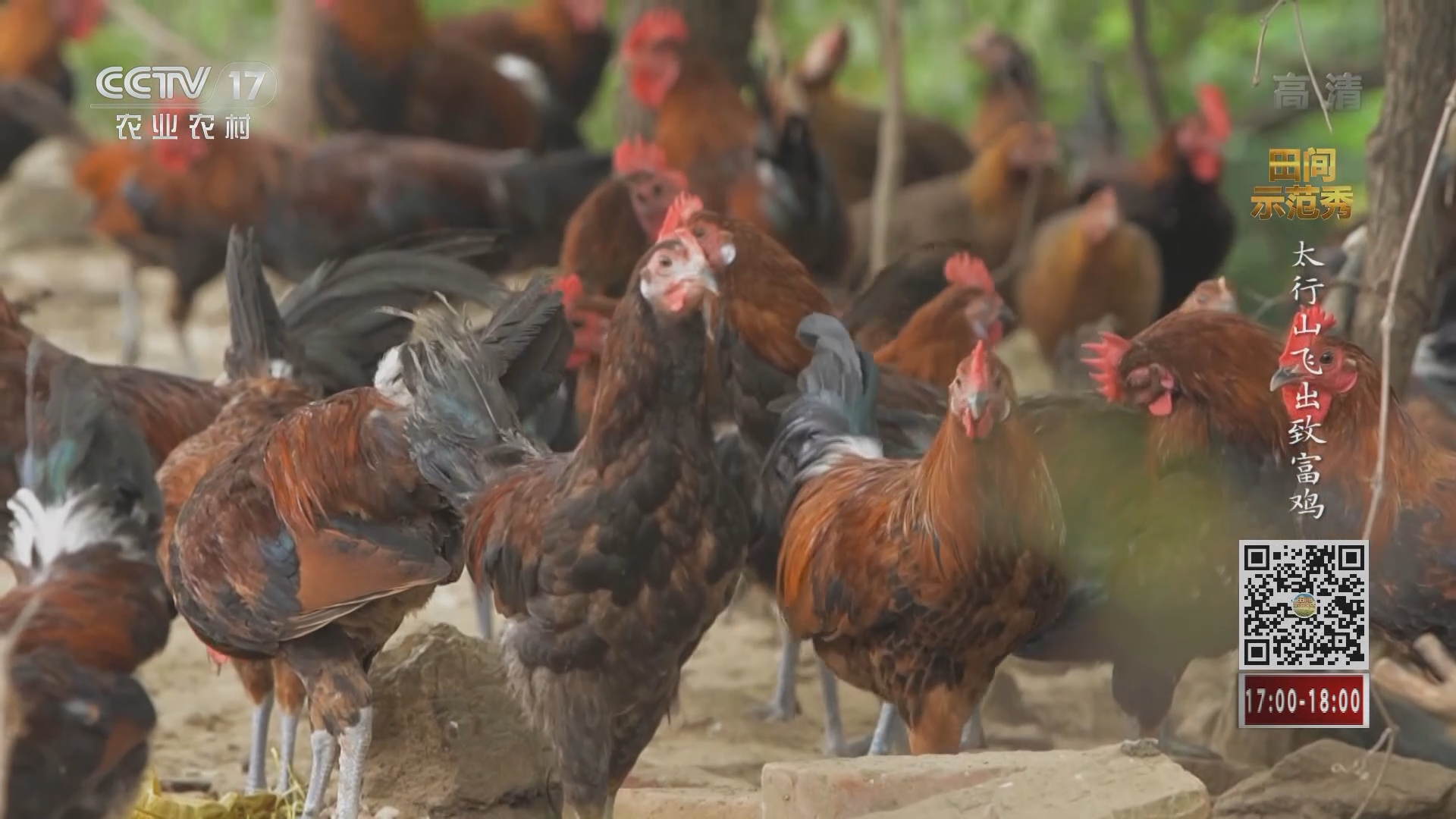 《田间示范秀》 20211015 太行山飞出致富鸡
