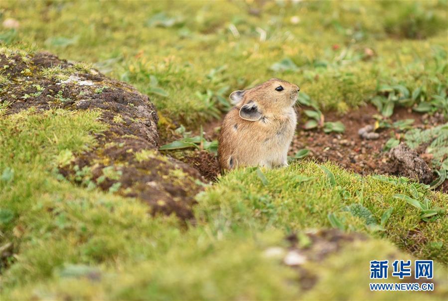 高原鼠兔:青藏邋遢大王歌词高原特有的小精灵