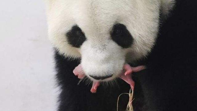 """旅居比利时大熊猫""""好好""""接受人工授精"""