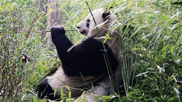 甘肅隴南發現野生大熊貓母子活動畫面