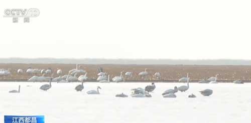 1.6万只天鹅鄱阳湖越冬 一片和谐景象