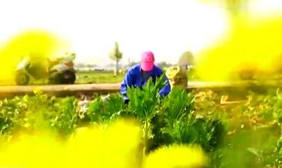 浙江余姚万亩榨菜收割忙 秋种春收产量高