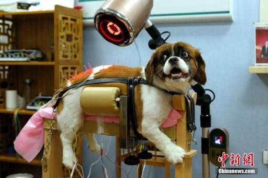 资料图:一只宠物狗在宠物医院接受针灸理疗。中新社记者 李慧思 摄
