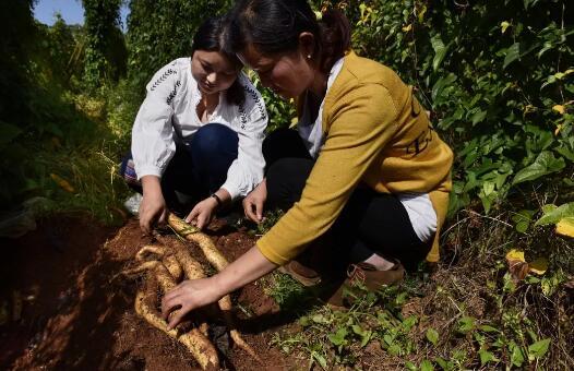 图为富源县十八连山镇搬迁群众种植的山药喜获丰收