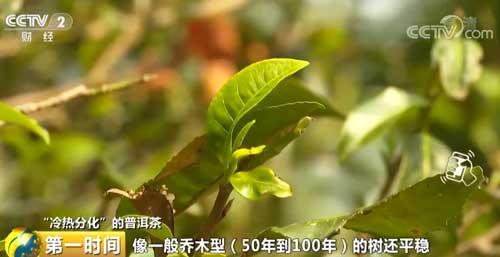 """""""冷热分化""""的普洱茶 春茶减产 中低端普洱茶价格不升反降"""