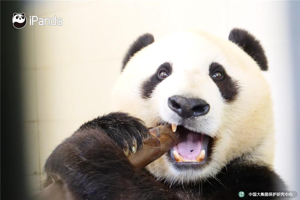 现场熊猫图