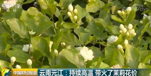 云南元江:持续高温 带火了茉莉花价