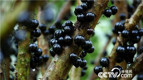 [美足电影经]财富长在树干上 广州邓荣森种植嘉宝果7天卖出400万元