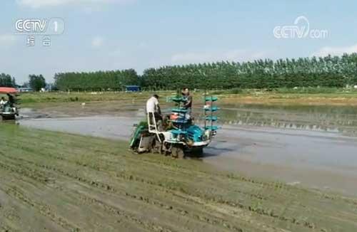 江苏阜宁:有机稻米插秧早 生态种植打响品牌