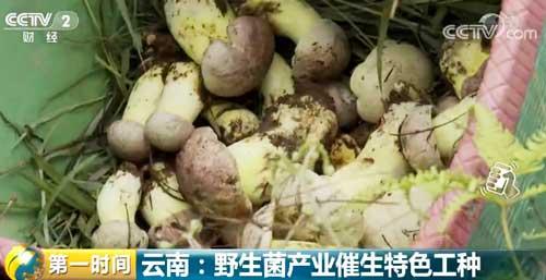 云南:野生菌产业催生特色工种