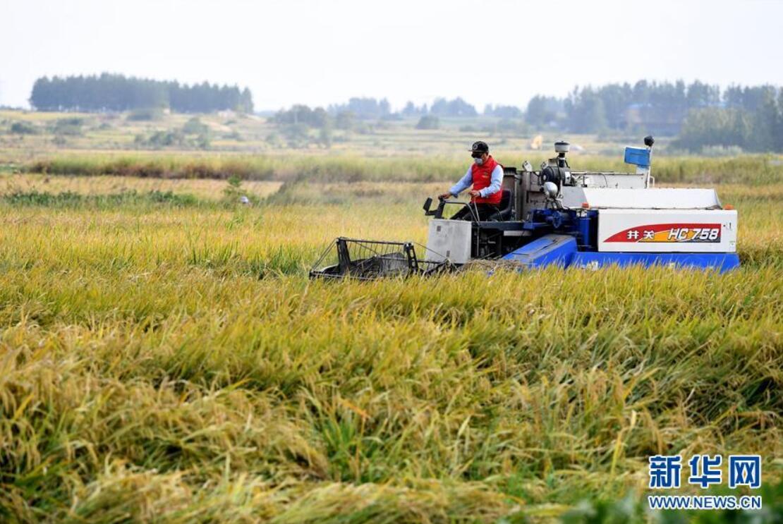 在安徽凤阳小岗村,农民驾驶收割机收割水稻(2018年9月27日摄)。 新华社记者 刘军喜 摄