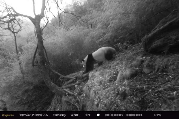 红外线相机拍摄到的大熊猫影像资料
