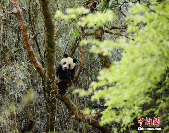 资料图:两只大熊猫在卧龙核桃坪野化培训基地接受为期两年左右的野化培训。 钟欣 摄