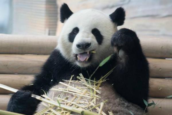 旅德大熊猫&quot梦梦&quot确认怀孕 动物园公布超声波图像