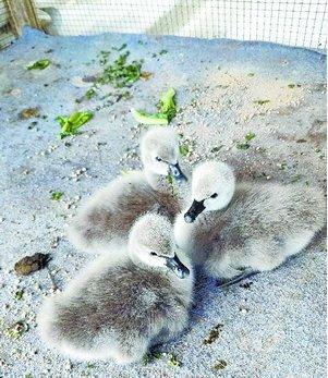 五缘湾湿地公园新增三只黑天鹅宝宝。